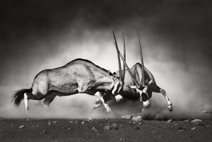 Gemsbok fight